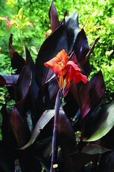 Australia Canna Lily for sale buy Canna 'Australia'