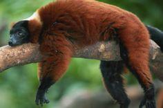 Lemur auf einer unserer Madagaskar Gruppenreise.