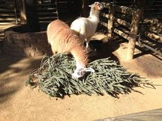 """my local zoo gives donated christmas trees to the llamas because evidently llamas love christmas."" - Imgur"