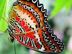 butterflies of the world | ... lacewing is one of the most ornate in the butterfly world the pattern