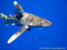 Oceanic Whitetip Shark: A large pelagic shark inhabiting tropical and warm temperate seas. Its stocky body is most notable for its long, white-tipped, rounded fins. This aggressive but slow-moving fish dominates feeding frenzies, and is a danger to shipwreck or air crash survivors. Found globally in deep, open water, with a temperature greater than 64°F. Prefers off-shore, deep-ocean areas. Spends most of its time in the upper layer of the ocean.