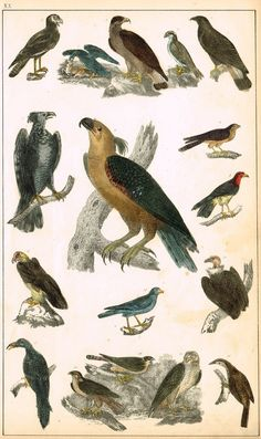 "Antique Bird Print - Goldsmith - ""BIRDS OF PREY, EAGLE, FALCON, CONDOR"" - Hand Colored Engraving - c1850"