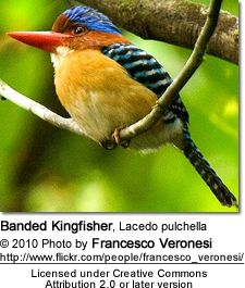 Banded Kingfisher, Lacedo pulchella. A tree kingfisher found in southeast Asia