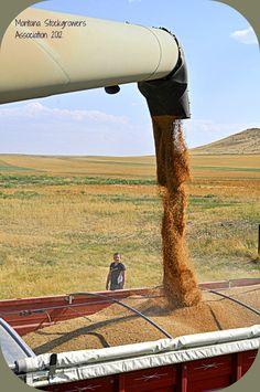 Harvesting Wheat at the Christensen Ranch near Big Timber, Montana.