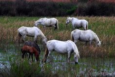 The herds live deep in the swamps feeding on marsh grasses.