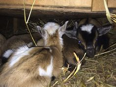 Baby goats need a space that is both warm and dry. They can get sick if they are too cold or damp. Provide plenty of warm bedding, such as hay or pine chips and change as needed to keep it fresh an…
