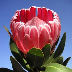 Protea Trish Compacta Love Flowers, Wild Flowers, Garden Mushrooms, Protea Flower, King Protea, Trees To Plant, Flower Decorations, Garden Plants, Flower Power