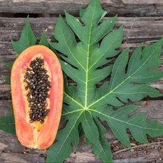 Folhas do mamoeiro, um santo remédio que quase ninguém conhece – Emagrecer: vida e saúde