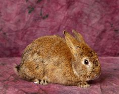 Chewie is an adoptable Netherland Dwarf searching for a forever family near Harrisonburg, VA. Use Petfinder to find adoptable pets in your area.