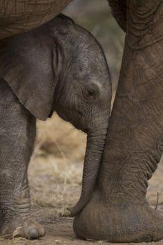 Africa | An elephant calf finds shelter amid its mother's legs. Samburu National Reserve, Kenya | © National Geographic / Michael Nichols
