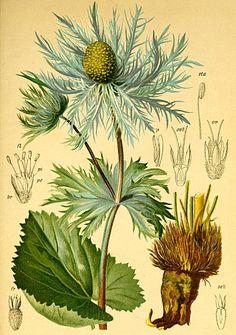 eryngium alpinum - Cerca con Google