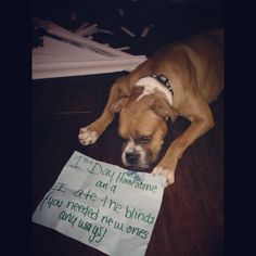"""First day left home alone  and I ate the blinds, you needed new ones anyway. ~ Dog Shaming shame - Boxer is very ashamed."