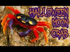Happy Halloween from the Halloween Moon Crab that looks like a little pumpkin Halloween Crab, Spooky Halloween, Happy Halloween, Halloween Decorations, Baby In Pumpkin, Little Pumpkin, Betta, Little Babies, Cute Puppies