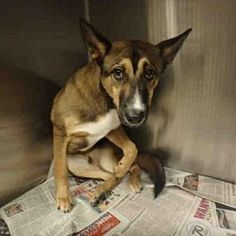 ***SUPER URGENT 6/16/18  Chatsworth, California - German Shepherd Dog. Meet NEO, a for adoption. Color Black Age Young Size (when grown) Med. 26-60 lbs (12-27 kg) Weight Sex Male Pet ID 13155079-A1784571 My Info Neutered  https://www.adoptapet.com/pet/22168198-chatsworth-california-german-shepherd-dog-mix