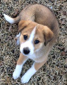 Australian Shepherd / Golden Retriever mix puppy