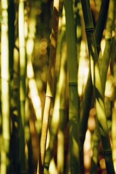 Black bamboo is the common name for several species of bamboo with distinctly black stems, or culms, as opposed to the usual green ones. Black bamboo has similar cultural requirements to its cousins. Although black bamboo can be planted any time of year in Mediterranean climates,  planting in early spring will result in the fastest growth.