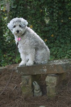 cinnamon the wonder dog, a schnoodle