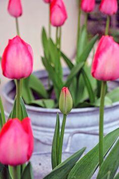 by AnneLiWest Berlin Tulpen in alten Zinkbehältern
