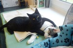 Incredible Nurse Cat From Poland Looks After Other Animals At Animal Shelter Black Cat Cat Hug, Dog Cat, I Love Cats, Cute Cats, Funny Cats, Nurse Cat, Animal Gato, Animal Shelter, Shelter Dogs