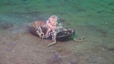 Why did the octopus move the coconut shell?  Watch