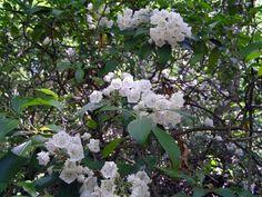 Pennsylvania's state flower, the Mountain Laurel (Kalmia latifolia)