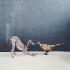 Well….hellllllooooo there! Downward Dog #ItalianGreyhound  // Italian Greyhound