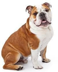 The Best Toys For Bulldogs Our Top 3 Picks Bulldog Breeds