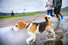 Tips and Essentials for Dog Strolling within the Rainwater by jun liu Dog Collar With Name, Dog Collar Tags, Custom Dog Collars, Dog Collars & Leashes, Best Dog Breeds, Best Dogs, Family Friendly Dogs, Dog Training Classes, Wild Dogs