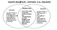 meiosis essay