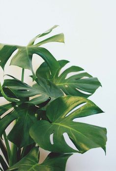 my pretty split-leaf philodendron //