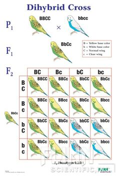 Dihybrid Cross - with helpful images