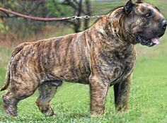 Cane Corso, Italian Mastiff, concept new breed Black Dogs Breeds, Dog Breeds, Presa Mayo, Big Dogs, Dogs And Puppies, Massive Dogs, Pitbull, Bred Pit, Rare Dogs