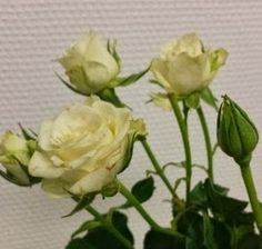 grenrose. (Botanisk :Snowflake) Helt hvit grenrose med litt mindre blader