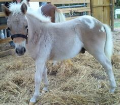 Mini Horse Rescues; been wanting a mini to be a buddy for my horsey