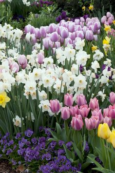Dallas Arboretum - Tulips, Daffodils and Pansies, oh my!