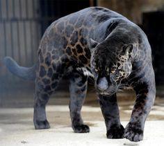 Boogie, uma linda Jaguar negra que vive em um zoológico na Tbilisi, Geórgia.