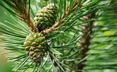 Настойка из сосновых шишек – уникальное средство для чистки сосудов, профилактики и лечения инсульта