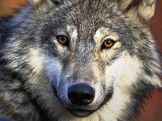 Magnifique Loup Gris <3
