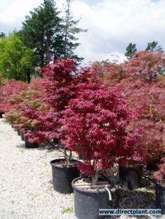 Japanse esdoorn (Acer palmatum 'Atropurpureum')