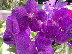 The Vanda Orchid both bold and beautiful.