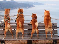 ohhh the little ones aurora cause shes tinyyyy! Shiba Inu, Animals And Pets, Funny Animals, Cute Animals, Akita, Pet Dogs, Dog Cat, Doggies, Dog Tumblr