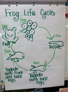 Frog life cycle - writing extension - students use anchor chart to work on sequencing - first, next, then, last - use with A Frog Grows and Changes leveled reader