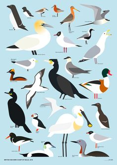 zeichnung British Sea Bird Chart by Build - graphic Bird Identification, Bird Graphic, Photo Animaliere, Crazy Bird, Bird Patterns, Bird Illustration, Bird Drawings, Sea Birds, Bird Design