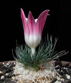 Gethyllis grandiflora