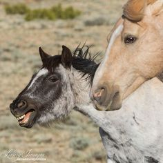 Cloud and Feldspar's daughter Agate in the Pryor Mountains of Montana  www.LivingImagesCJW.com