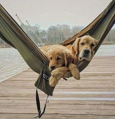 Astonishing Everything You Ever Wanted to Know about Golden Retrievers Ideas. Glorious Everything You Ever Wanted to Know about Golden Retrievers Ideas. Chien Golden Retriever, Golden Retrievers, Labrador Retrievers, Cute Puppies, Cute Dogs, Dogs And Puppies, Chihuahua Dogs, Animals And Pets, Cute Animals
