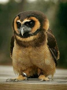 Asian Brown Wood Owl by susanna