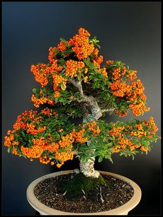 Mini Halloween Tree...I want one badly!  (Sea Buck Thorn Bonsai)