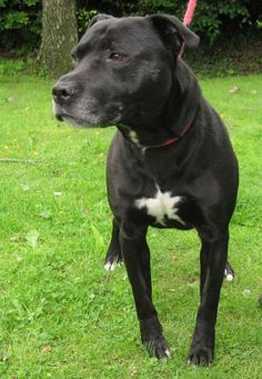 Charlie – 7 year old male Labrador cross Staffordshire Bull Terrier dog for adoption