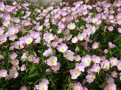 Pink Ladies, Mexican Evening Primrose, Showy Evening Primrose (Oenothera speciosa)
